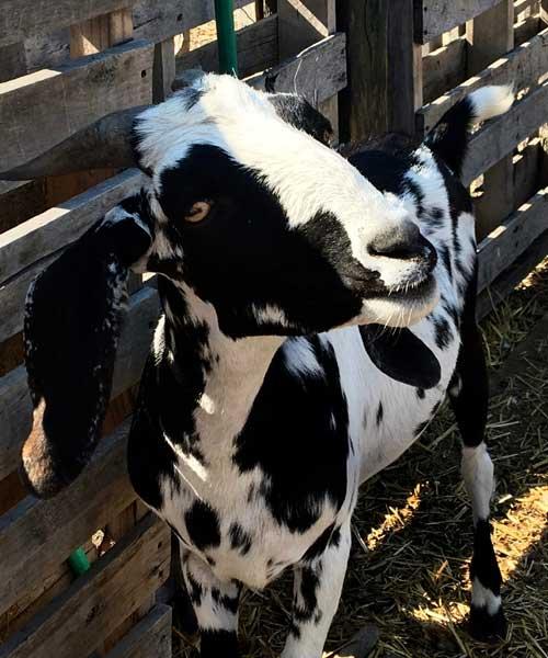 DeMille's Farm Market Petting Zoo Goat