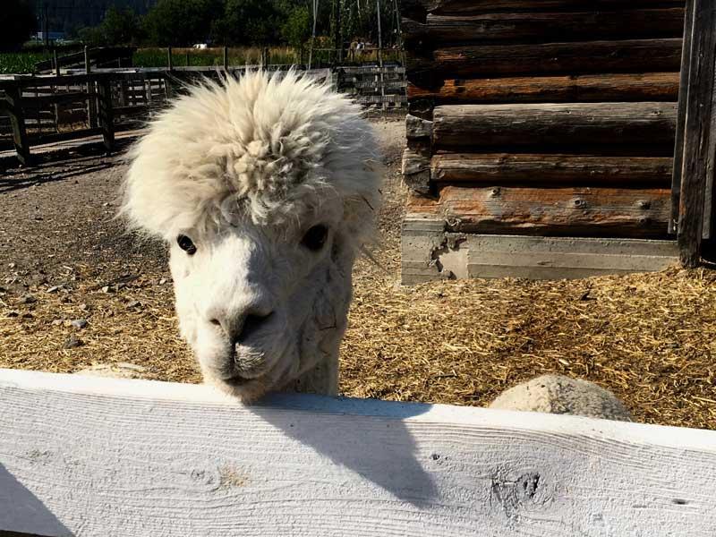 DeMille's Farm Market Petting Zoo Alpaca