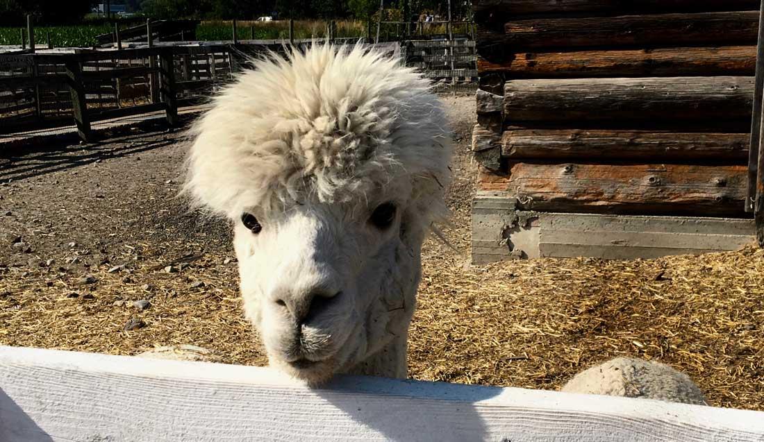 DeMille's Market Petting Zoo Alpaca