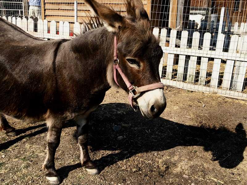 DeMille's Farm Market Petting Zoo Donkey