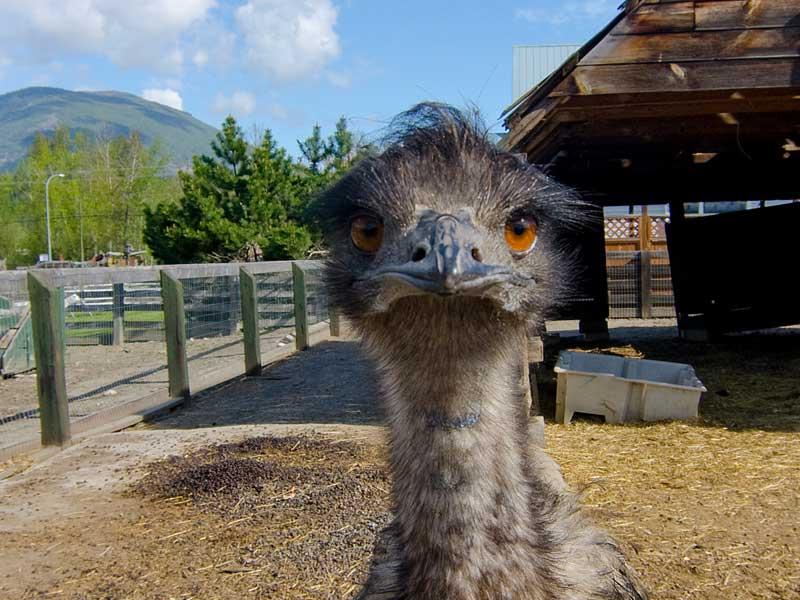 DeMille's Farm Market Emu