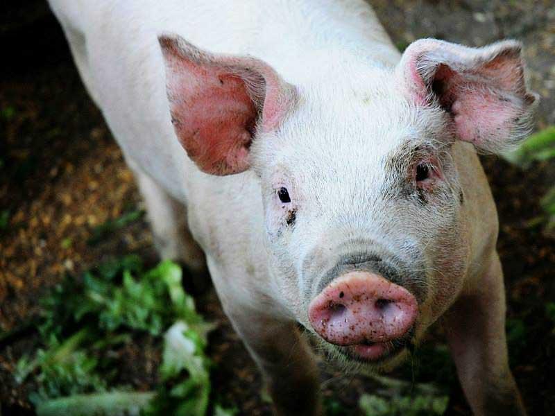 DeMille's Farm Market Pig